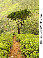 tree on tea plantation