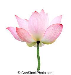 isolated lotus - Lotus flower isolated on white background.