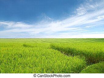 beautiful rice field and blue sky