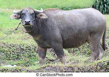 water buffalo standing in field, Thailand