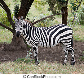 zebras in african savanna