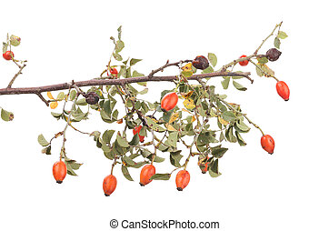 Isolated image of a branch rose hips Whole background