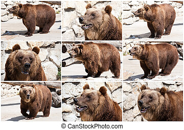 Bear - Beautiful photo of big and strong brown Bear in zoo