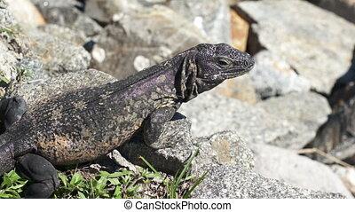 Iguana Close Up - Close up shot of an iguana on rocks taking...