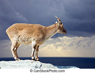 Wild sheep on rock - Wild sheep on rock against dramatic sky...