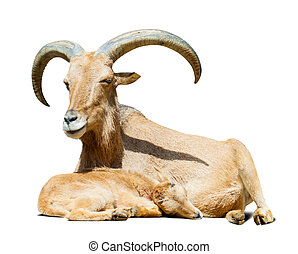 Adult sheep with lamb over white with shade - barbary sheep...