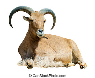 barbary sheep Isolated over white background