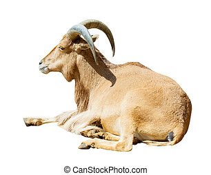 Sitting barbary sheep. Isolated over white - Sitting barbary...