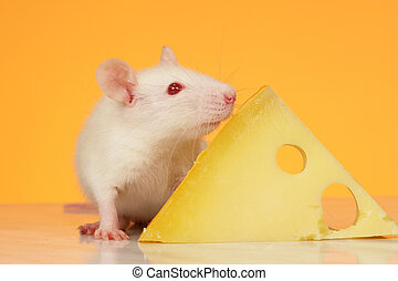 rat on a yellow background...