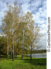 Birch - Tree in the autumn on a background of a wood...