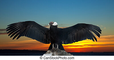 Andean condor against sunset - Andean condor on rock against...