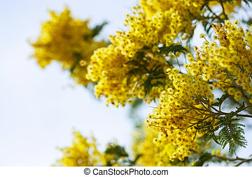 yellow Acacia branches against sky - yellow Acacia dealbata...