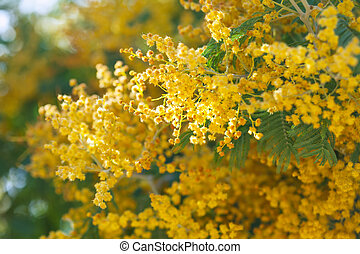 Acacia dealbata branches in spring - Yellow Acacia dealbata...