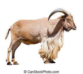full length of Ibex Spanish Isolated over white background