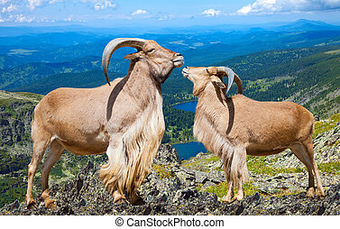 Pair of barbary sheeps in wildness area - Pair of Standing...