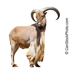 male barbary sheep. Isolated over white - Standing male...