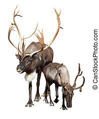 Two caribou Isolated over white