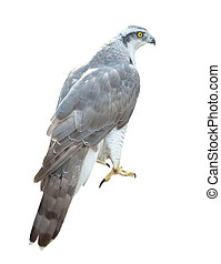 Goshawk. Isolated over white - Goshawk (Accipiter gentilis)....