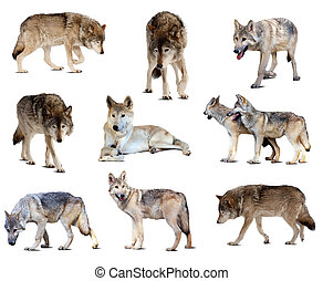 Set of gray wolves Isolated over white background with shade...