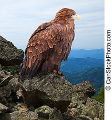 eagle on rock   - eagle on rock against wildness background