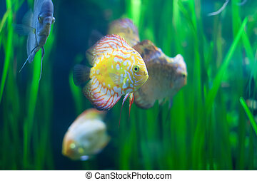 discus fish in the grass at water