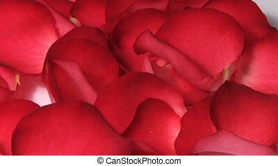 Red rose petals turning macro