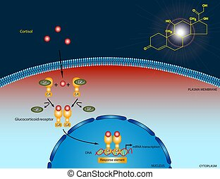 Cortisol signaling pathway - Illustration of the cortisol...