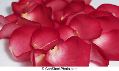 Red rose petals turning