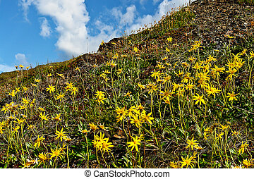 Thickets of mountain arnica on slope of a hill.