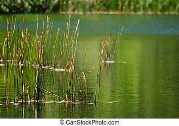 Pond - Landscape of reeds plants in water pond.
