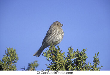 House finch, Carpodacus mexicanus, single bird on branch,...