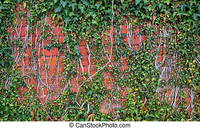 Ivy And Brick Wall Background - Vines cover the exterior...
