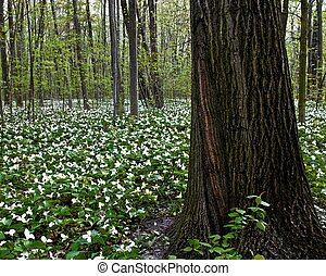 Spring Trillium - Spring trillium carpet the northern forest...