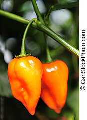 Hot chilis - Habanero - Two hot Habanero chilis grows in the...