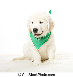 adorable doggy - a cute little golden retriever puppy
