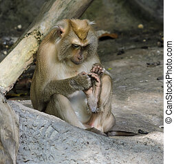 Pig-tailed macaques