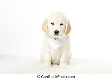 cute doggy - a cute little golden retriever puppy