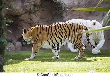 two tigers - two beautiful tigers