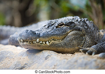 crocodile - great animal