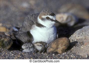 Kentish plover, Charadrius alexandrinus, single bird with...