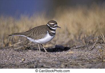 Killdeer, Charadrius vociferus, single bird on ground, New...