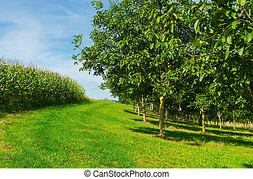 Plantation of Corn and Walnut Trees in France