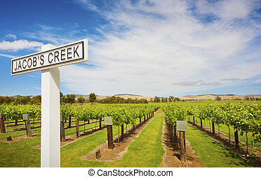 Grape Vines at Jacobs Creek Winery - Rows of grape vines at...