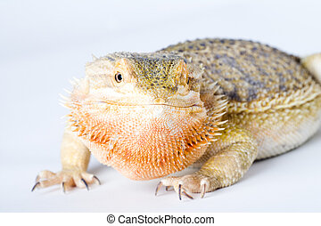 a beautiful reptile - a bearded dragon