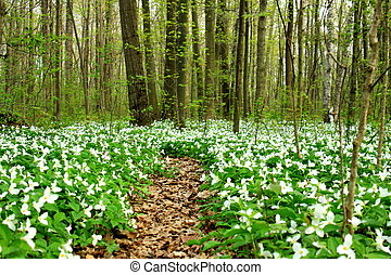 Trail of Trillium - Wild white Trillium line a hiking trail...