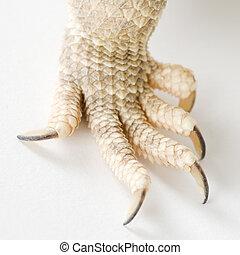 Bearded dragon claw