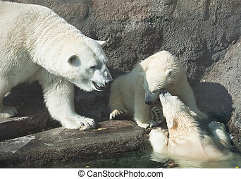 Polar bears - Nice photo of cute white polar bears