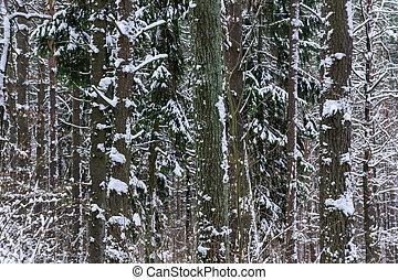 abeto, bosque,  piny, nieve