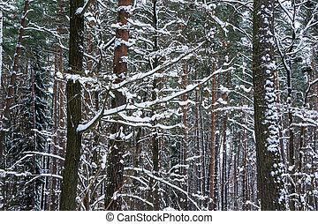 nieve, piny, abeto, bosque