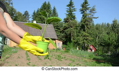 eggplant seedling - woman hand with yellow rubber gloves...